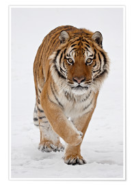 Póster Premium  Siberian Tiger in the snow - James Hager
