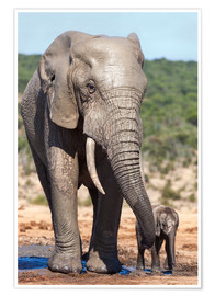 Póster Premium  African elephants (Loxodonta africana) adult and baby, Addo National Park, Eastern Cape, South Afric - Ann & Steve Toon