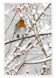 Póster Premium  Robin, with berries in snow - Ann & Steve Toon