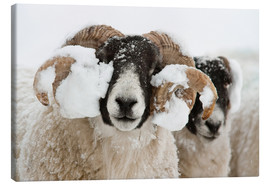 Quadro em tela  Northumberland blackface sheep in snow, Tarset, Hexham, Northumberland, UK - Ann & Steve Toon