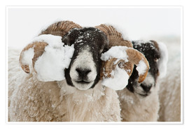 Póster Premium  Northumberland blackface sheep in snow, Tarset, Hexham, Northumberland, UK - Ann & Steve Toon