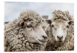 Quadro em acrílico  Sheep waiting to be shorn, Falkland Islands - Michael Nolan