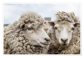 Póster Premium  Sheep waiting to be shorn, Falkland Islands - Michael Nolan