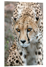 Quadro em PVC  Cheetah on foray, South Africa - Fiona Ayerst