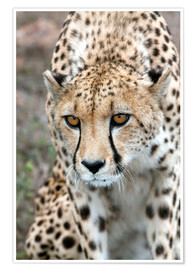 Póster Premium  Cheetah on foray, South Africa - Fiona Ayerst
