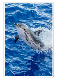 Póster Premium  Adult striped dolphin - Michael Nolan