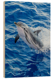 Quadro de madeira  Adult striped dolphin - Michael Nolan