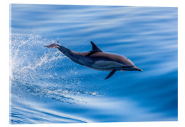 Quadro em acrílico  Long-beaked common dolphin leaping - Michael Nolan