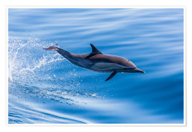 Póster Premium  Long-beaked common dolphin leaping - Michael Nolan