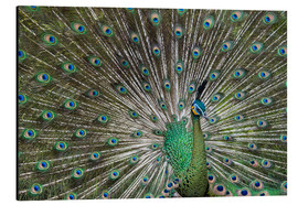 Quadro em alumínio  Java green peafowl (Pavo muticus) - Gabrielle & Michel Therin-Weise