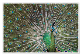 Póster Premium  Java green peafowl (Pavo muticus) - Gabrielle & Michel Therin-Weise