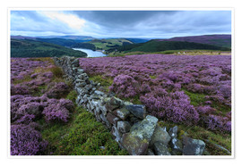 Póster Premium  Heather covered Bamford Moor and dry stone wall - Eleanor Scriven