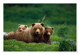 Póster Premium  Grizzly bear with cubs - Jo Overholt