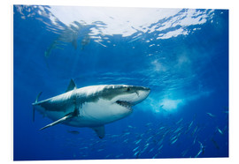 Quadro em PVC  Great White Shark in front of Guadalupe - Dave Fleetham