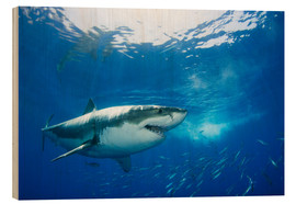 Quadro de madeira  Great White Shark in front of Guadalupe - Dave Fleetham