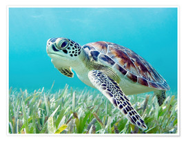 Póster Premium  Green sea turtle - M. Swiet