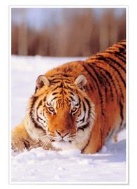 Póster Premium Siberian Tiger in the snow