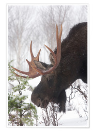 Póster Premium  Moose in Winter - Philippe Henry