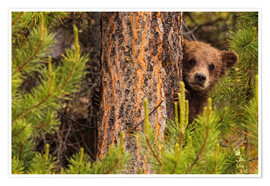 Póster Premium  Grizzly bear behind a tree - Robert Postma