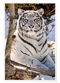 Póster Premium  White Bengal Tiger - Chad Coombs