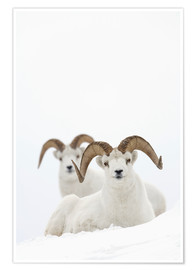Póster Premium Two sheep in the snow