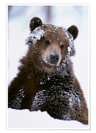 Póster Premium  Grizzly in the snow - Doug Lindstrand