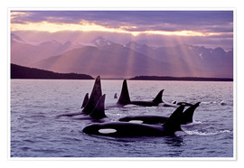 Póster Premium  Orcas in the evening - John Hyde