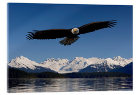 Quadro em acrílico  Bald Eagle in Tongase National Forest - John Hyde