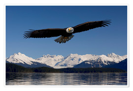Póster Premium  Bald Eagle in Tongase National Forest - John Hyde