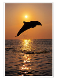 Póster Premium  Dolphin in the sunset - Tom Soucek