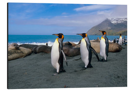 Quadro em alumínio  King Penguins on South Georgia Iceland - Tom Soucek
