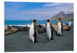 Quadro em PVC  King Penguins on South Georgia Iceland - Tom Soucek