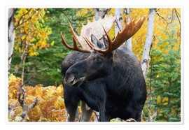 Póster Premium  Moose in the Gaspesie National Park - Philippe Henry