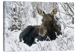 Quadro em tela  Cow elk in a winter forest - Philippe Henry