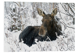 Quadro em PVC  Cow elk in a winter forest - Philippe Henry