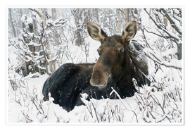 Póster Premium  Cow elk in a winter forest - Philippe Henry