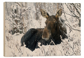 Quadro de madeira  Cow elk in a winter forest - Philippe Henry