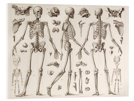 Quadro em acrílico  Skeleton Of A Fully Grown Human - Wunderkammer Collection