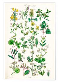 Póster Premium  Wildflowers - Sowerby Collection