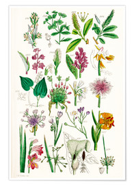 Póster Premium  Wild Flowers - Sowerby Collection