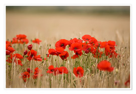 Póster Premium  Poppies Growing Wild - John Short