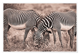 Póster Premium  Two Zebras Grazing Together - David DuChemin