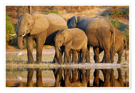 Póster Premium Elephants at a river, Africa wildlife
