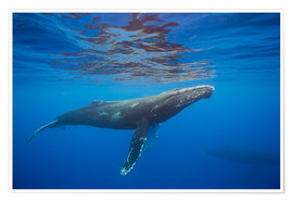 Póster Premium  Humpback whale under water - Dave Fleetham