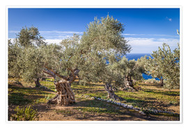 Póster Premium Ancient olive trees in Mallorca (Spain)