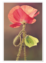Póster Premium Poppy and butterfly