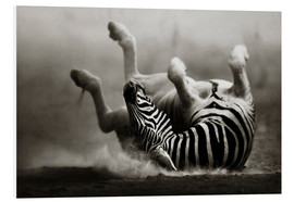Quadro em PVC  Zebra rolling upside down on dusty desert sand - Johan Swanepoel