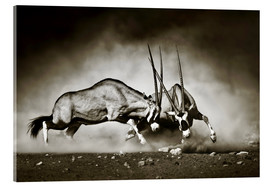 Quadro em acrílico  Gemsbok antelope fighting in dusty sandy desert - Johan Swanepoel
