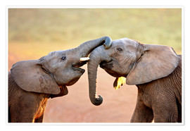 Póster Premium Two elephants interact gently with trunks