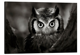 Quadro em alumínio  White-faced Owl perched in a tree - Johan Swanepoel